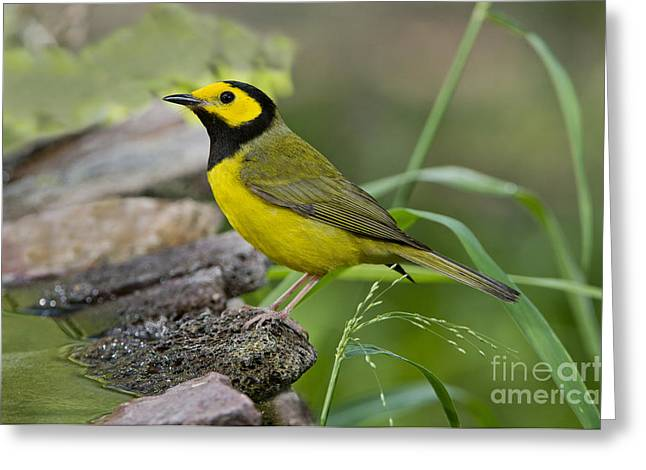 Setophaga Greeting Cards - Hooded Warbler Greeting Card by Anthony Mercieca