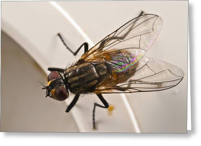 Biology Greeting Cards - House fly Greeting Card by Science Photo Library