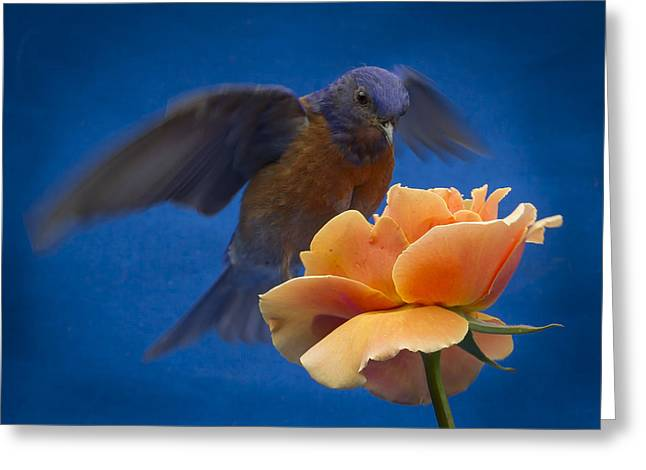 Turdidae Greeting Cards - Hovering Greeting Card by Jean Noren