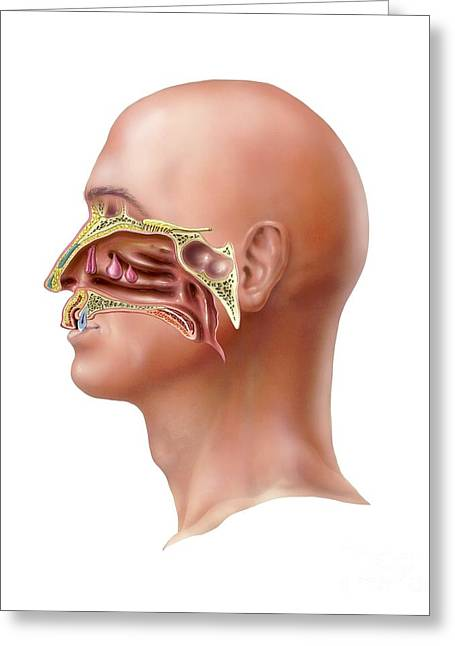 Internal Growth Greeting Cards - Human Olfactory System, Artwork Greeting Card by Bo Veisland