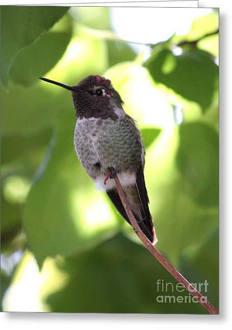 Hangout Greeting Cards - Hummingbird Hangout Greeting Card by Carol Groenen
