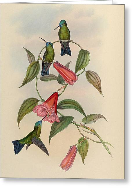Old Prints Greeting Cards - Hummingbirds Greeting Card by Unknown Artist