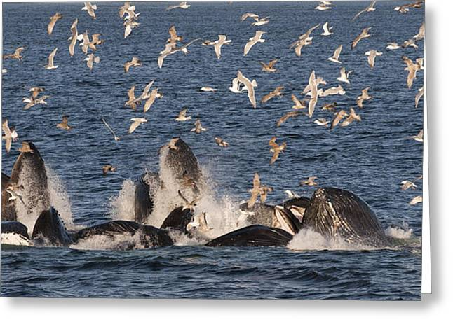 Cooperation Greeting Cards - Humpback Whales Feeding With Gulls Greeting Card by Flip Nicklin