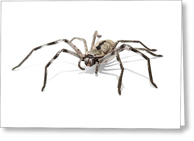 Huntsman Photographs Greeting Cards - Huntsman spider Greeting Card by Science Photo Library