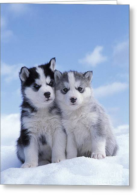 Dogs In Snow. Greeting Cards - Husky Puppy Dogs Greeting Card by Rolf Kopfle
