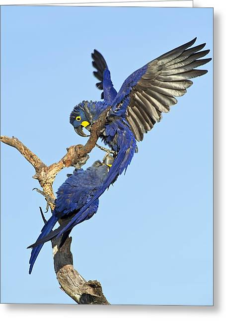 Hyacinth Macaw Greeting Cards - Hyacinth macaws Greeting Card by Science Photo Library