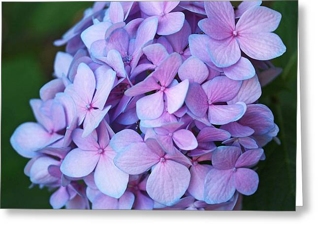 Blossoms Greeting Cards - Hydrangea Greeting Card by Rona Black