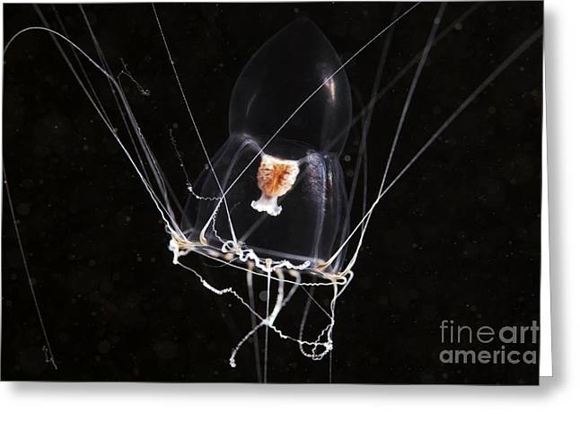 Jelly Fish Greeting Cards - Hydromedusa Greeting Card by Alexander Semenov