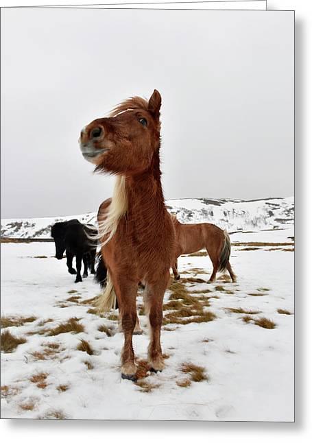 Icelandic Horses Greeting Card by Dr P. Marazzi