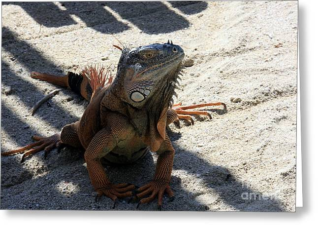 Tropical Photographs Photographs Greeting Cards - Iguana Greeting Card by Sophie Vigneault