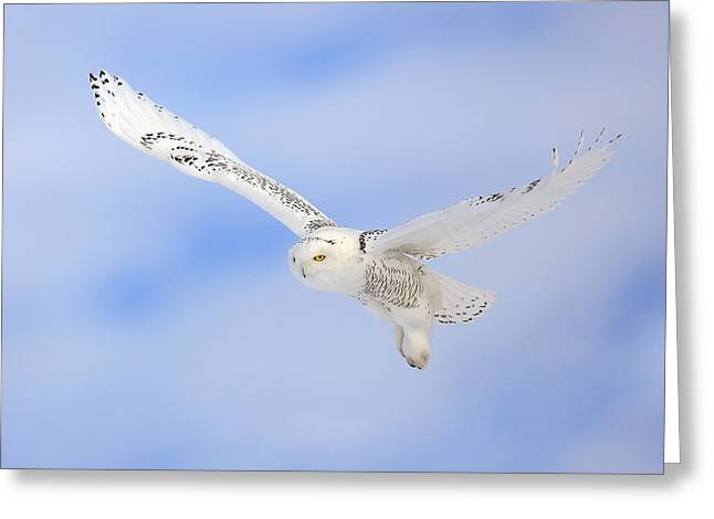Snowie Greeting Cards - In Flight - Snowy Owl Greeting Card by Keith R Crowley