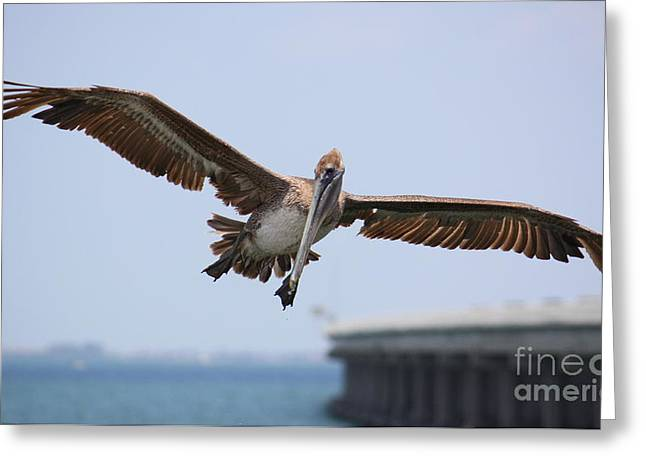 Pelicans Flying Greeting Cards - Incoming Pelican Greeting Card by Carol Groenen