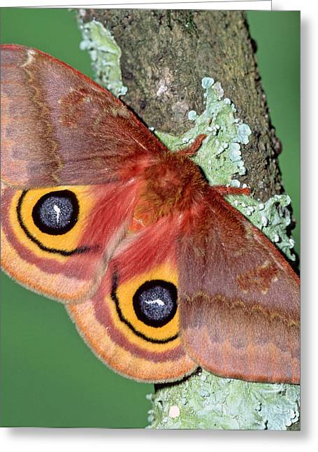Io Moth Greeting Card by Millard H. Sharp