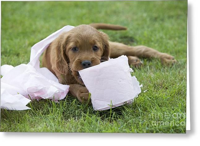 Irish Setter Greeting Cards - Irish Setter Puppy Greeting Card by Jean-Michel Labat