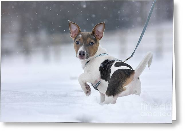 Dog Walking Greeting Cards - Jack Russell Terrier Greeting Card by Johan De Meester