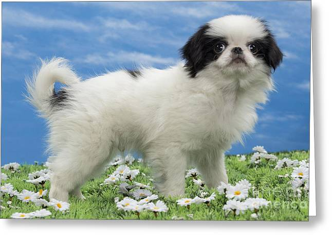 Japanese Puppy Greeting Cards - Japanese Chin Puppy Greeting Card by Jean-Michel Labat