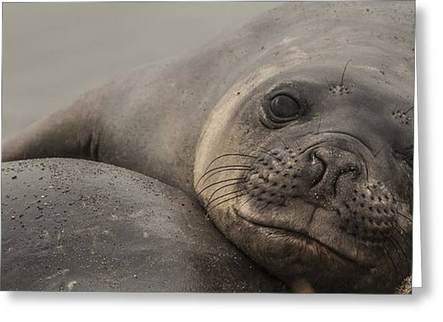 Elephant Seals Greeting Cards - Just a Pup Greeting Card by Nichon Thorstrom