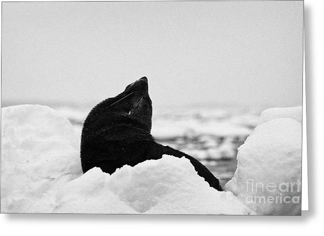 Harsh Behavior Greeting Cards - juvenile fur seal looking up stretching exaggerating size  floating on iceberg in Fournier Bay Antar Greeting Card by Joe Fox