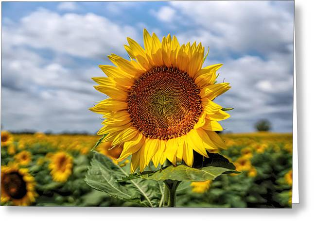 Kansas Sunflower Greeting Card by Alan Hutchins
