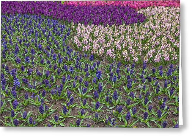 Spring Bulbs Greeting Cards - Keukenhof Greeting Card by Joana Kruse