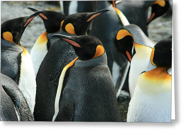 Hungry Chicks Greeting Cards - King Penguin Colony Greeting Card by Amanda Stadther