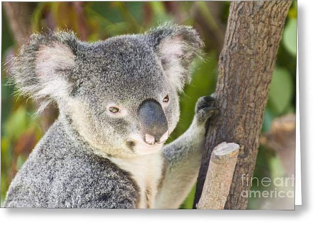 Koala Photographs Greeting Cards - Koala Bear Greeting Card by William H. Mullins