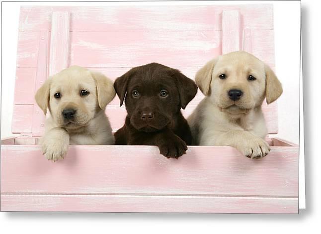 Labrador Retriever Puppies Greeting Card by John Daniels