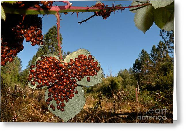 North American Vine Greeting Cards - Lady Beetles Greeting Card by Ron Sanford