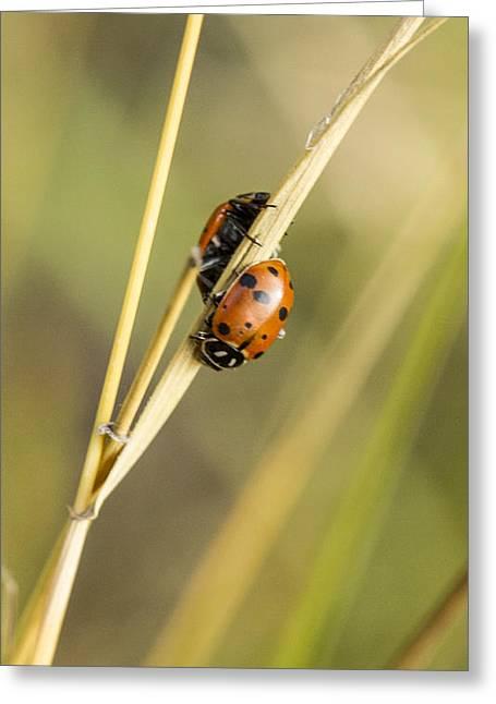 2 Ladybugs Crawling Greeting Card by Jean Noren