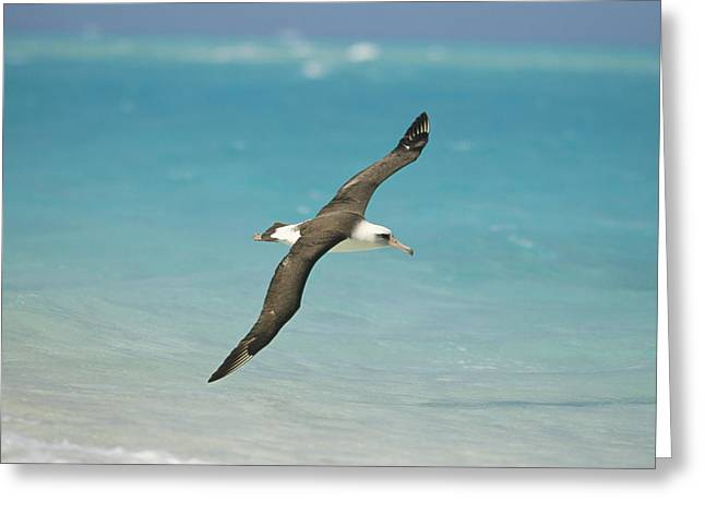 Seabirds Greeting Cards - Laysan Albatross Flying Midway Atoll Greeting Card by Tui De Roy