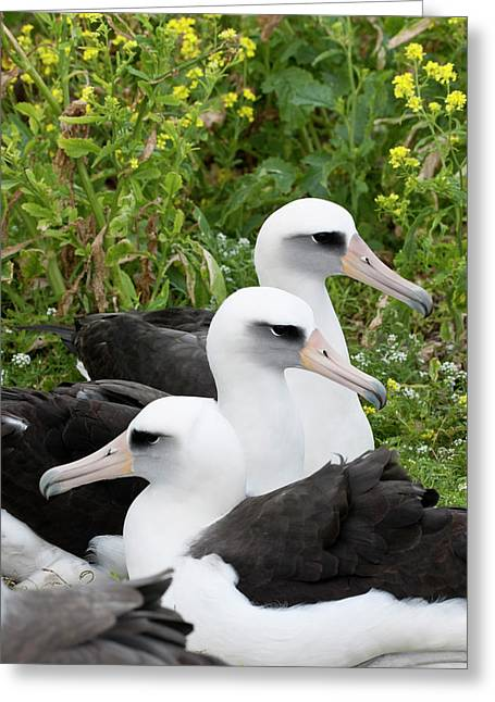 Laysan Albatross (phoebastria Greeting Card by Daisy Gilardini