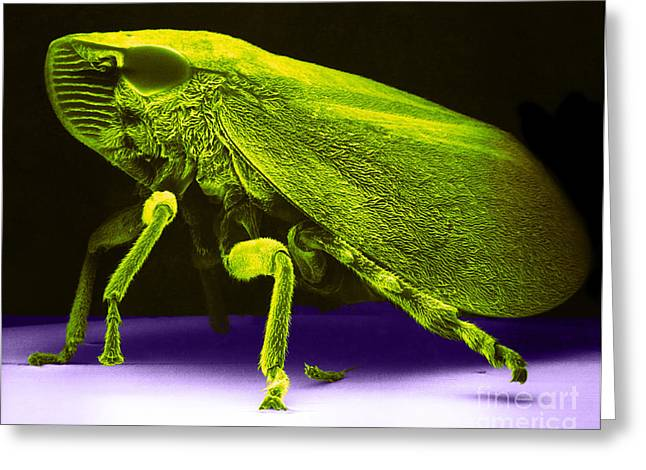 Green And Yellow Greeting Cards - Leafhopper, Sem Greeting Card by David M. Phillips