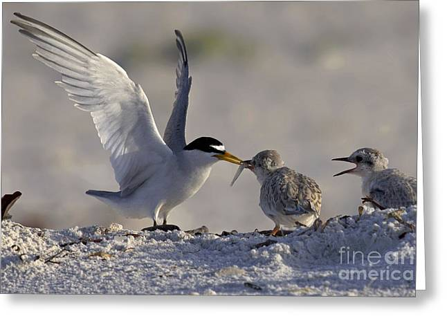 Tern Greeting Cards - Least Tern feeding its young Greeting Card by Meg Rousher