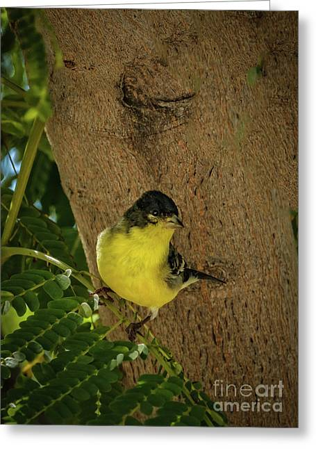 Haybales Greeting Cards - Lesser Goldfinch Greeting Card by Robert Bales