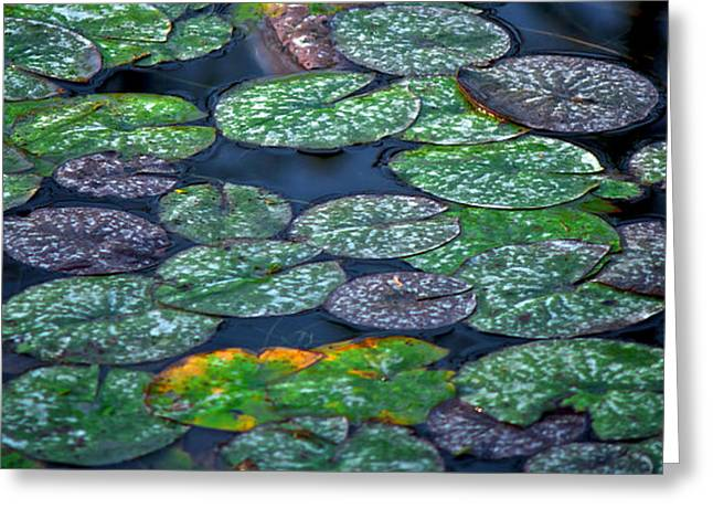 Lilly Pad Greeting Cards - Lilly pads Greeting Card by Andre Faubert