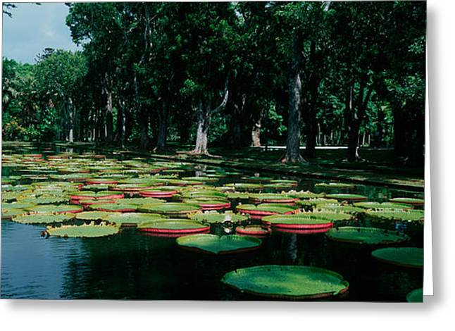 Mauritius Greeting Cards - Lily Pads Floating On Water Greeting Card by Panoramic Images