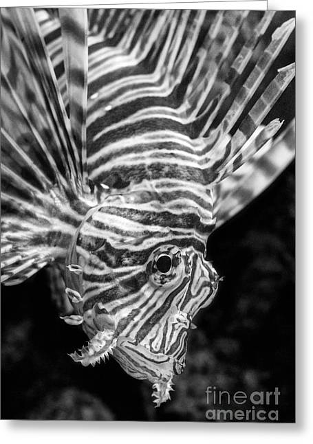 Lionfish Greeting Cards - Lionfish Greeting Card by Jamie Pham