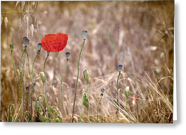 Lanscape Greeting Cards - Lonely Poppy Greeting Card by Guido Montanes Castillo