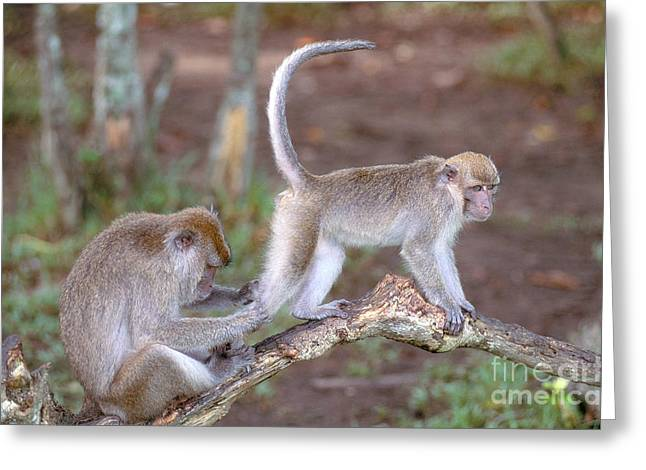 Long Tail Greeting Cards - Long-tailed Macaque Greeting Card by Art Wolfe
