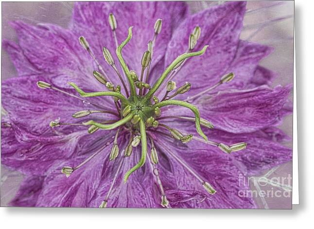 Damascena Greeting Cards - Love In The Mist Greeting Card by Cindi Ressler