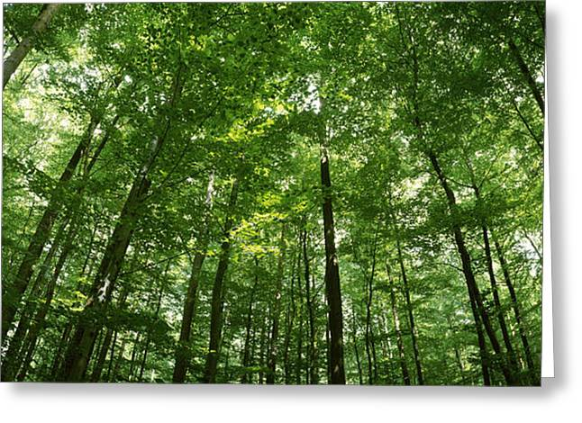 Tall Trees Greeting Cards - Low Angle View Of Beech Trees Greeting Card by Panoramic Images