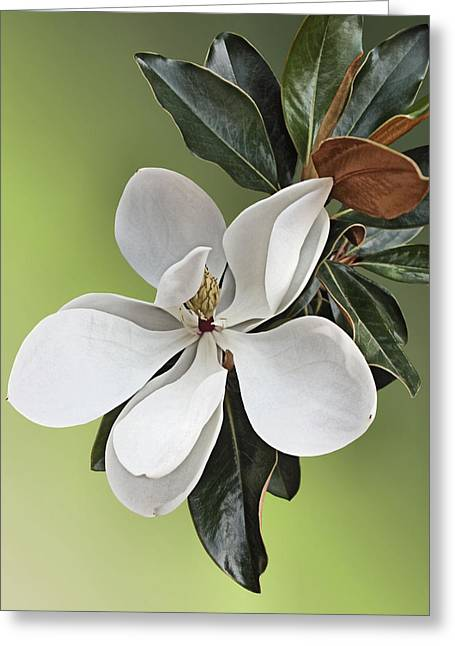 Magnolia Blossom Greeting Card by Kristin Elmquist