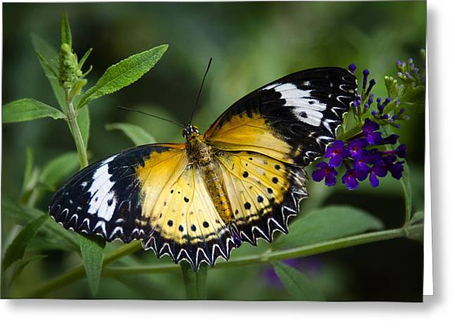 Malay Lacewing Butterfly  Greeting Card by Saija  Lehtonen
