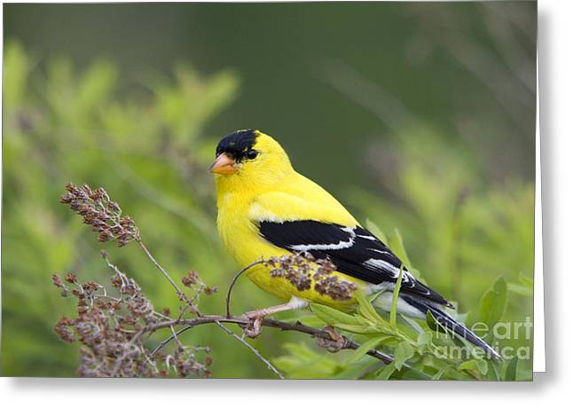 Male American Goldfinch Greeting Card by Linda Freshwaters Arndt