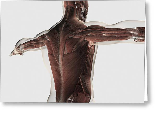 Human Arm Greeting Cards - Male Muscle Anatomy Of The Human Back Greeting Card by Stocktrek Images