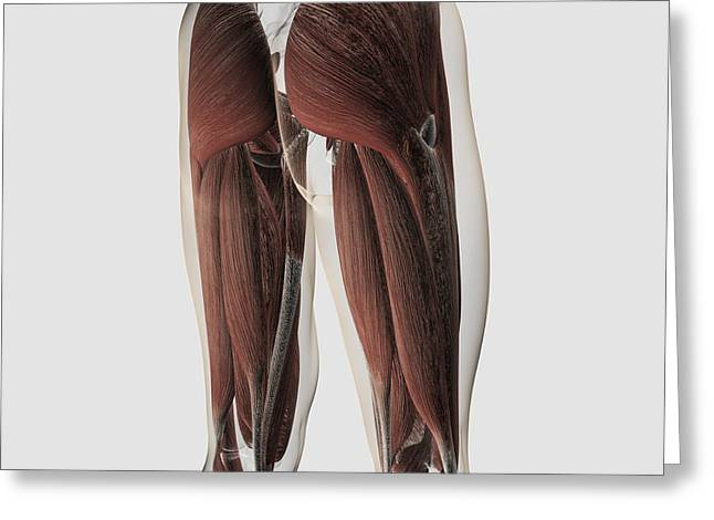 Tibial Nerve Greeting Cards - Male Muscle Anatomy Of The Human Legs Greeting Card by Stocktrek Images