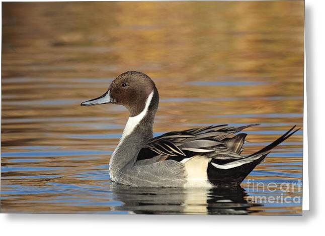 Ruth Jolly Greeting Cards - Male Pintail Greeting Card by Ruth Jolly