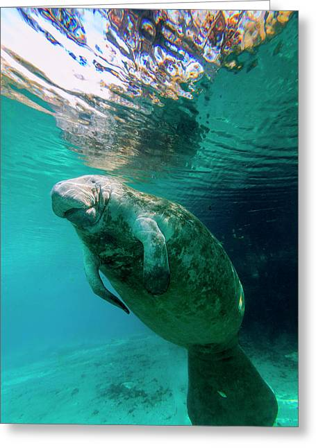 Manatee Swimming In Clear Water Greeting Card by James White