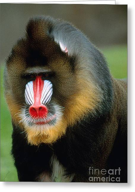 Protected Species Greeting Cards - Mandrill Greeting Card by Art Wolfe
