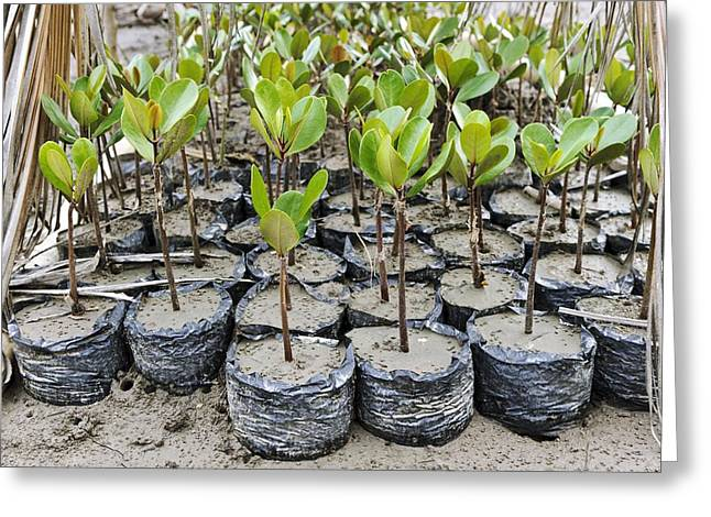 Gorontalo Greeting Cards - Mangrove rehabilitation, Indonesia Greeting Card by Science Photo Library